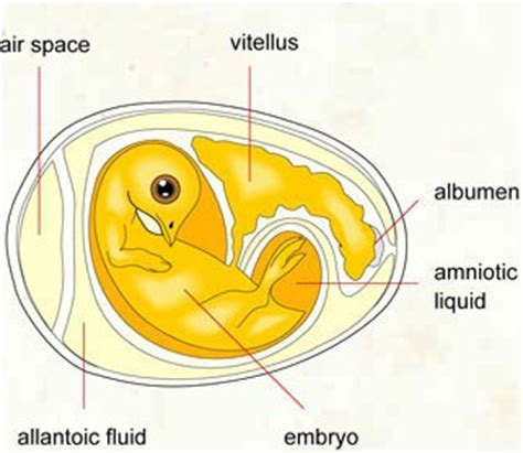 diagram of an amniotic egg new page 1 ez002 k12 sd us