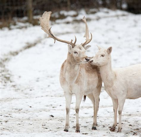 best 25 white reindeer ideas on caribou animal deer and reindeer photo