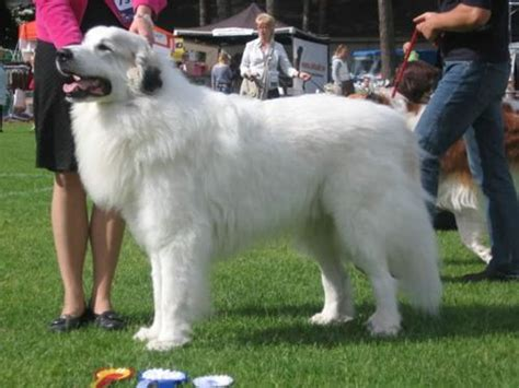 large haired dogs large breeds hair large breeds large breeds