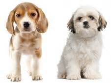 beagle and shih tzu 17 best ideas about beagle mix on aussie puppies puppies and dogs