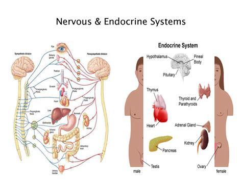 diagrams for children endocrine system diagram for modernheal