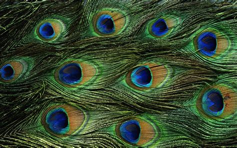 peacock wallpapers wallpapers of peacock feathers hd 2015 wallpaper cave