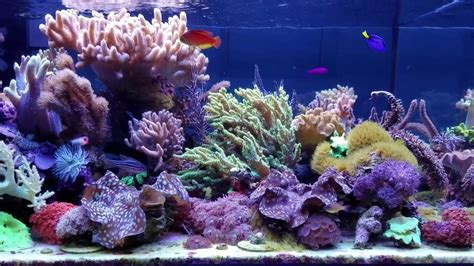 Soft Aquarium mikec soft coral reef tank