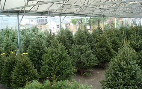 ct grown christmas trees newington ct stonehedge