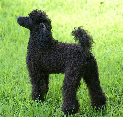 miniature poodles the poodle information center miniature poodle wiktionary