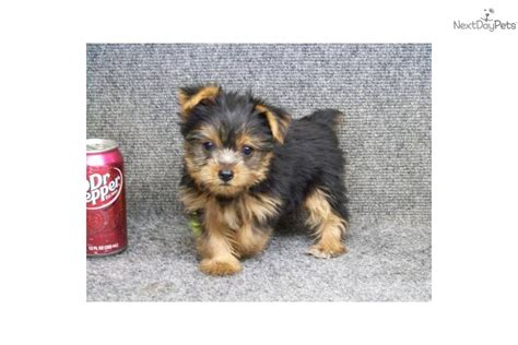yorkie behavior meet prissy a terrier yorkie puppy for sale for 525 prissy great