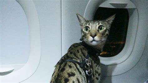 alitalia trasporto animali in cabina mai pi 249 in stiva adesso i nostri cani potranno viaggiare