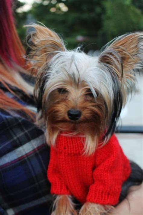 yorkie clothes 17 best images about yorkie sweaters on ravelry yorkies and free dogs