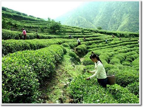 Teh Longjing hangzhou longjing tea plantation top 10 things to do in hangzhou top 10 attractions in hangzhou
