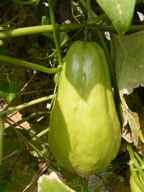 shallow rooted vegetables chu chu sechium edule