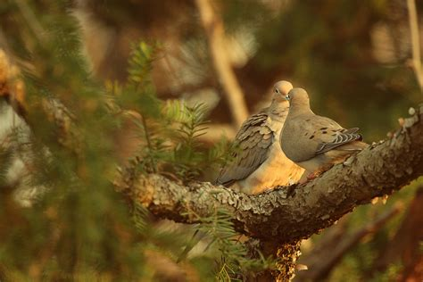 wild birds unlimited photo share mourning doves coo