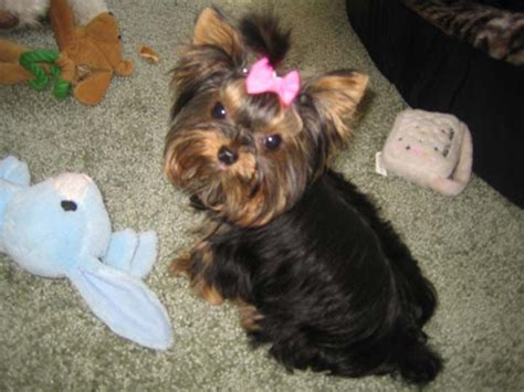 best harness for yorkie puppy need to get your pet out for some exercise consider using a harness to avoid pulling
