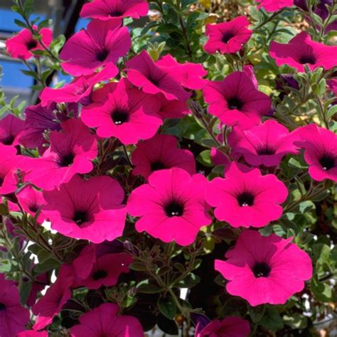 petunias hanging basket flowers 10 best housetohome co uk