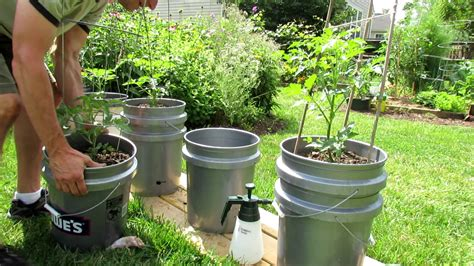 container gardening self watering early update on my self watering tomato container garden
