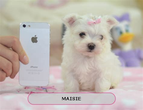 buy puppy best place to buy teacup puppies small dogs for sale