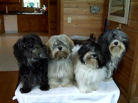 brindle havanese pictures havanese brindle and white pictures to pin on pinsdaddy