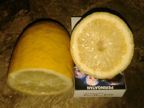 Bibit Buah Lemon bibit buah langka jeruk lemon parfum
