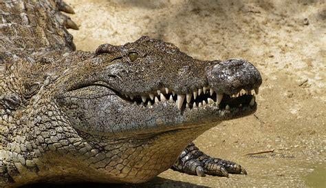 el cocodrilo al que cocodrilo del nilo wiki reino animalia fandom powered by wikia