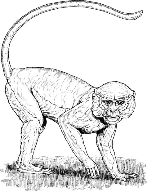 capuchin monkey coloring pages monkey coloring pages