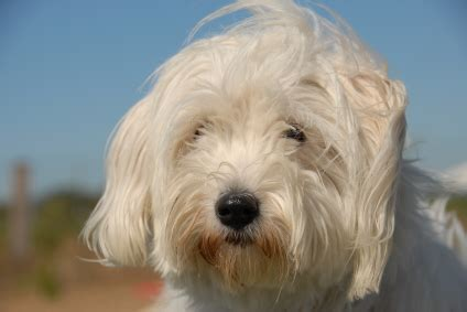 havanese behavior havanese temperament personality