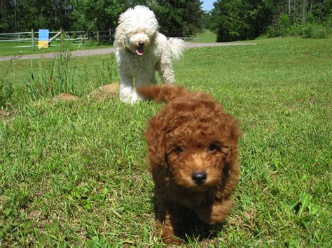 goldendoodle puppy for sale wisconsin miniature goldendoodles for sale in wisconsin