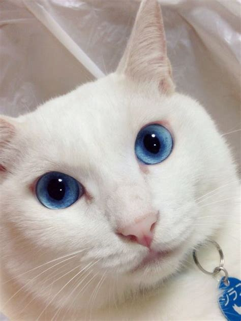 Boneka Kucing Cat 3 Colour Big Eye 9 white cat with blue things