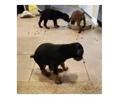 doberman puppies for sale in oklahoma doberman puppies for sale animals collinsville oklahoma announcement 34725
