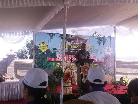 Bibit Sapi Di Bali wamentan luncurkan bibit sapi bali di jembrana