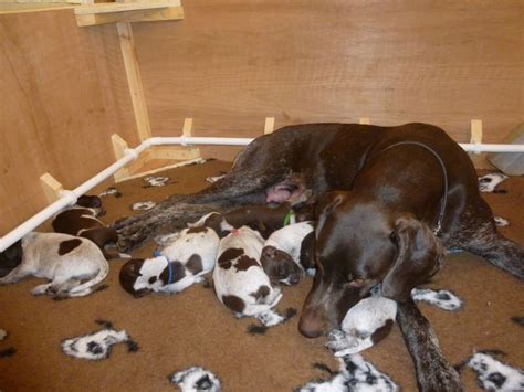 pointer puppies for sale german shorthaired pointer puppies for sale west malling kent pets4homes