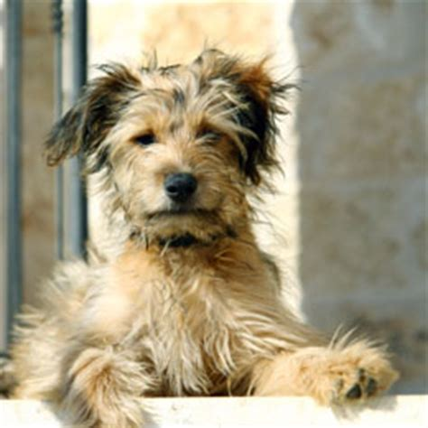 list of yorkie mix breeds terrier yorkie mix www pixshark images galleries with a bite