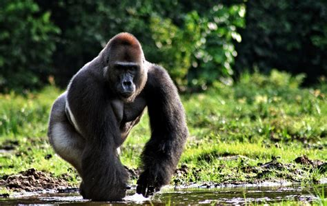 amazon rainforest animals gorilla how you should feel about endangered species day