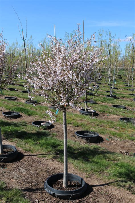 cherry tree b b killarney prunus twist 15g in flower