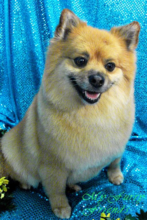 clipped pomeranian puppy cut black pomeranian www pixshark images galleries with a bite