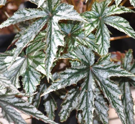 Tanaman Pohon Begonia Gantung 8 jenis tanaman hias begonia yang perlu anda ketahui