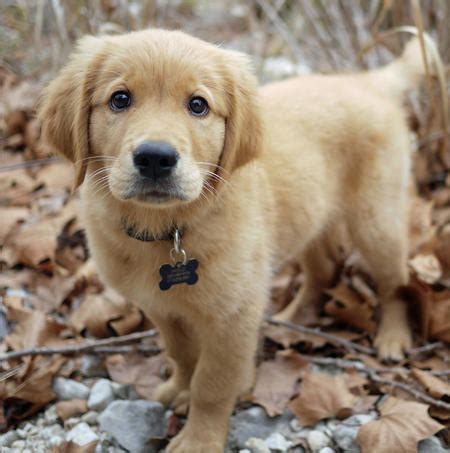 how much are golden retriever puppies apollo the golden retriever puppies daily puppy