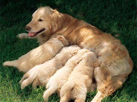 golden retriever with children golden retrievers all information you need boldsky