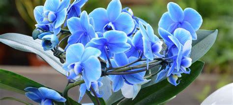 come mantenere le orchidee in vaso orchidea come curarla cura e mantenimento