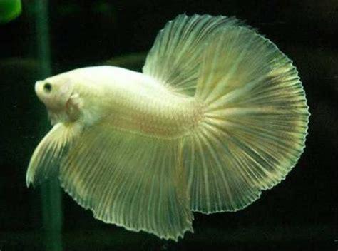 Pakan Ikan Cupan Hias yanx berwarna ikan hias cupang dan cara meliharanya