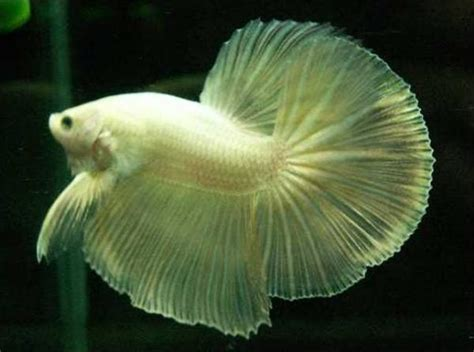 Pakan Ikan Cupang Selain Jentik Nyamuk about cupang budidaya ikan cupang hias