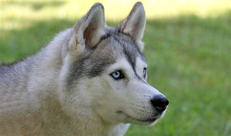 husky breed siberian husky breed information