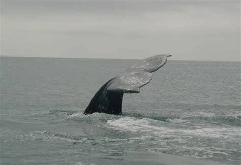 about journey north s gray whale migration study