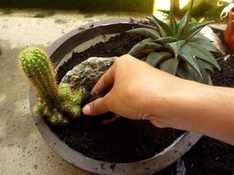 menanam  merawat kaktus