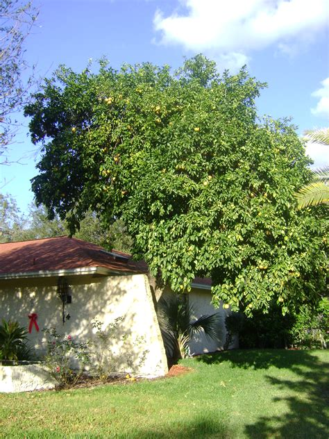 buy duncan grapefruit trees for sale in orlando kissimmee