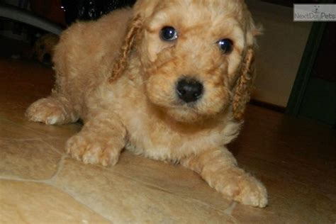 doodle puppies for sale in indiana goldendoodle puppy for sale near south bend michiana