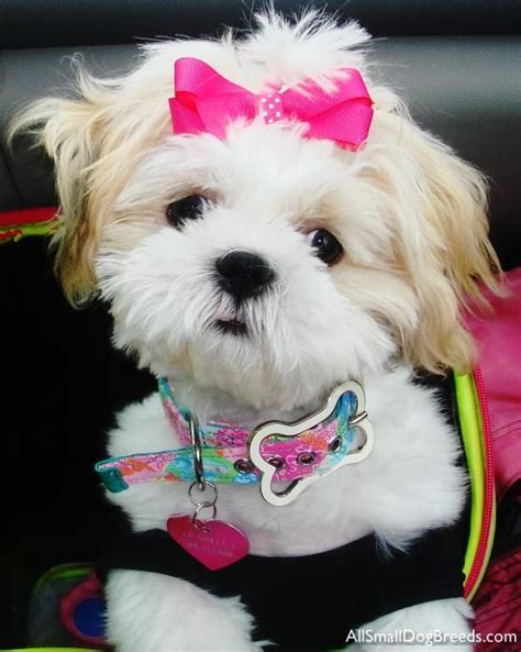shih tzu rescue scotland 132 best images about pretty shih tzu mommie on image search shih