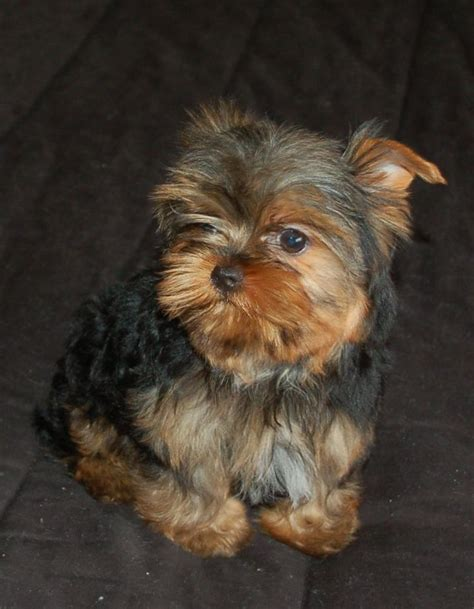 yorkie supplies 855 best images about i yorkies on terrier supplies and