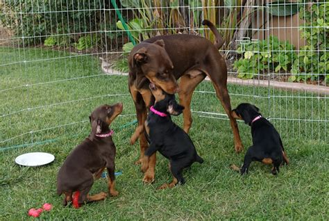 doberman puppy rescue organic garden dreams the rescue doberman puppies are growing fast