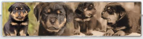 american rottweiler puppies for sale in nc pictures of rottweilers we sold breeds picture