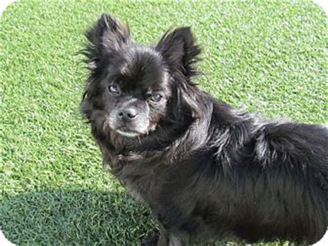 chion pomeranian breeders house springs mo japanese chin pomeranian mix meet owen a for adoption