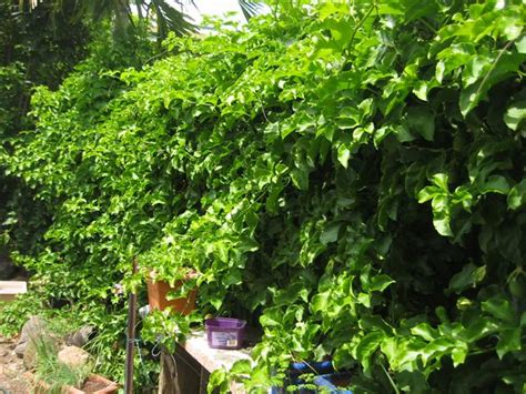 fast growing climbing plants for fences mahalo